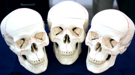 New anatomical skulls were donated to OCCC's Biology Lab from The Health Professions Club. Melissa Sue Lopez/Pioneer.