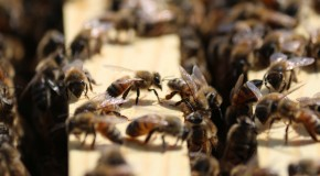 Workers bees gather around a new queen bee in a hive at an Oklahoma City bee farm. Photo by Cici Simon