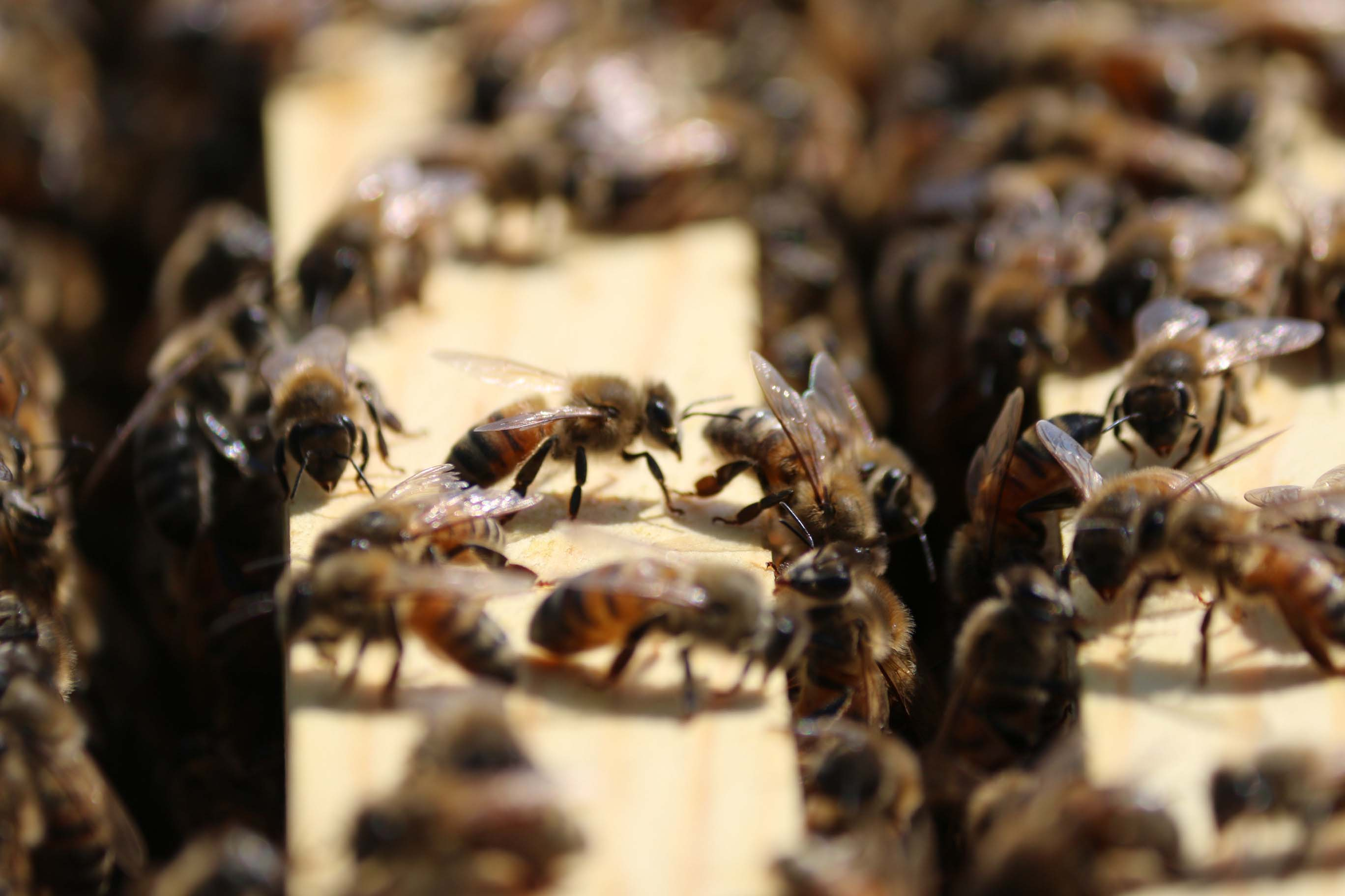 To Bee Or Not To Bee: Chemicals, Fertilizer Wreaking Havoc With Bee Population